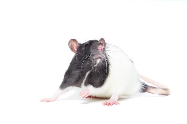 Rata sobre fondo blanco