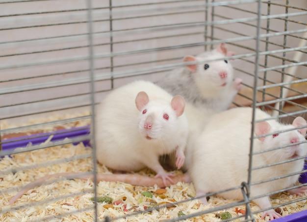 Ratas de laboratorio asustadas en una jaula, enfoque selectivo en una de las ratas