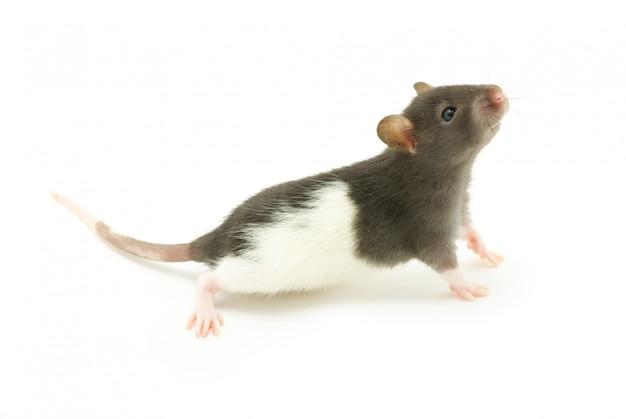 Ratón blanco y gris