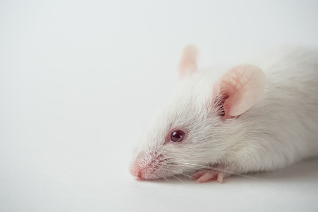 Ratón blanco sobre superficie blanca