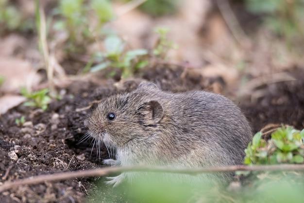 Ratón de campo rayado