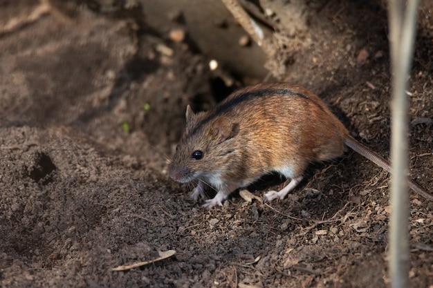 El ratón de campo rayado