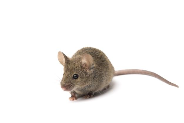 Ratón gris aislado