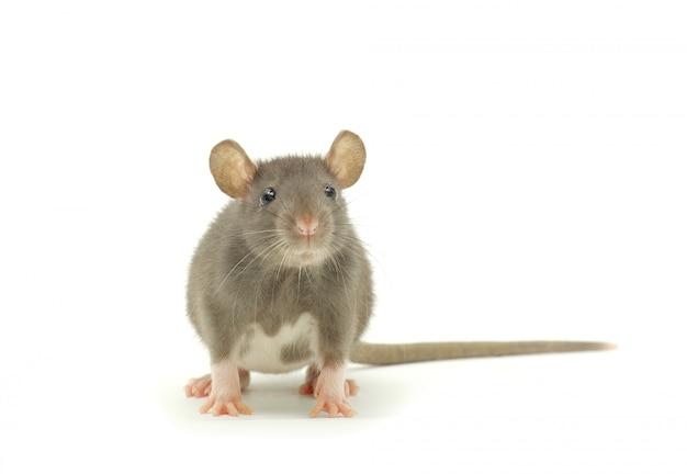Ratón gris mirando