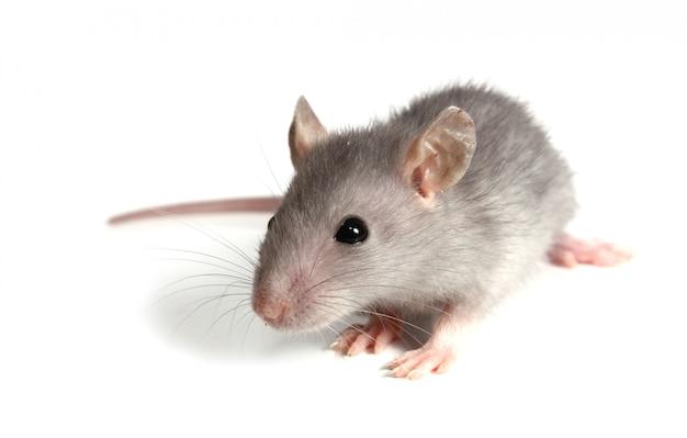 Ratón gris