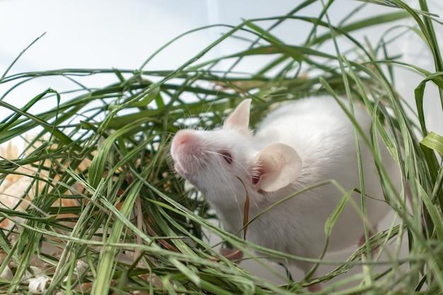 Ratón de laboratorio albino blanco sentado en la hierba verde seca