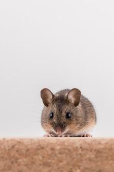 Ratón de madera, apodemus sylvaticus, sentado sobre un ladrillo de corcho
