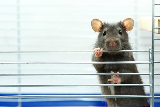 Ratón se sienta en la jaula