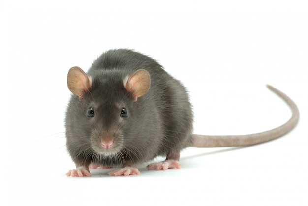 Ratoncito gris