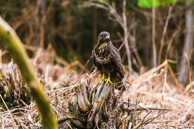 Ratonero común (buteo buteo) en un bosque