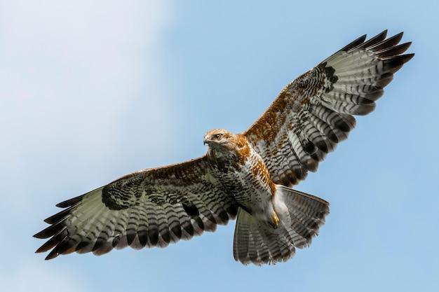 Ratonero común capturado en vuelo bajo un cielo azul en escocia