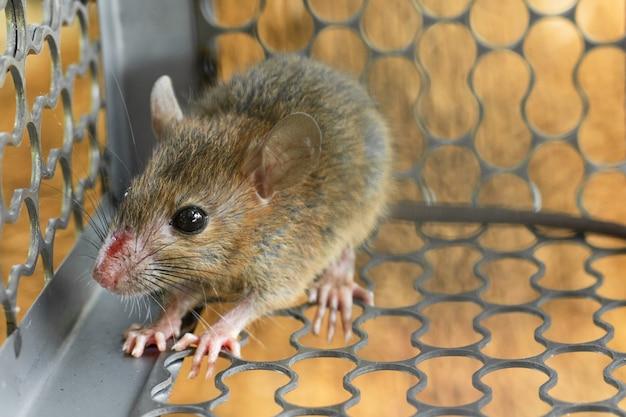 Ratones atrapados en una jaula de trampa. dentro de trampas para ratas.