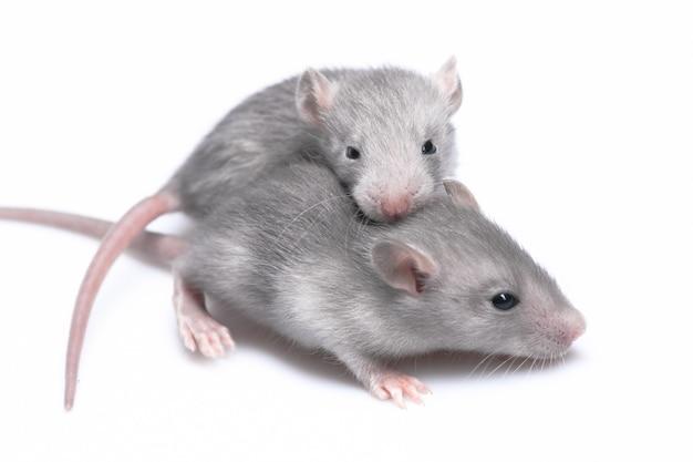 Ratones grises