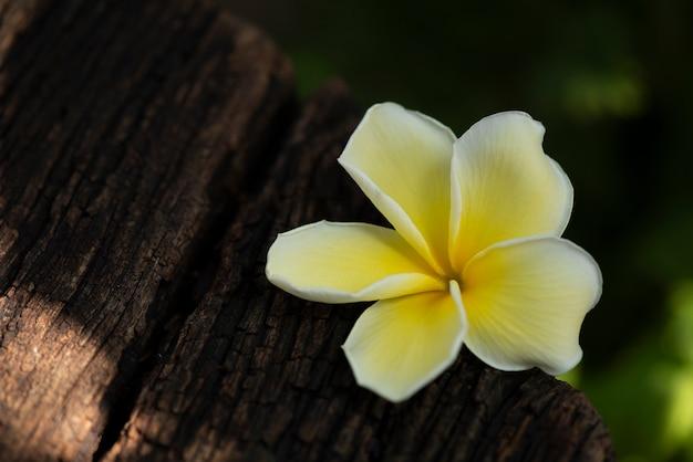 Rayo de flores de plumeria sobre un fondo de madera vieja.