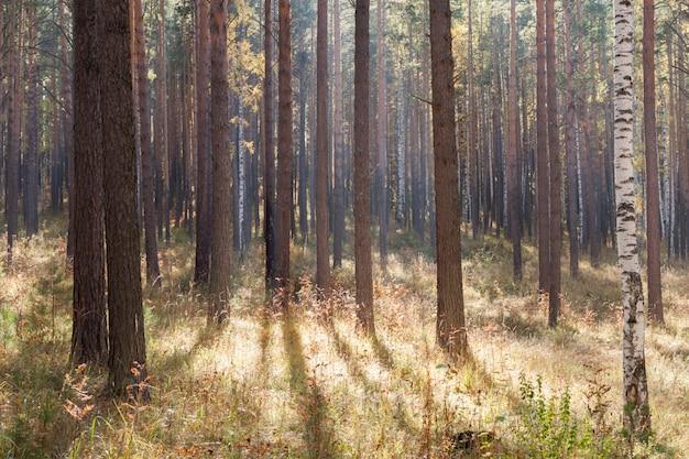 Los rayos del sol atraviesan el otoño mixto caducifolio-conífero.