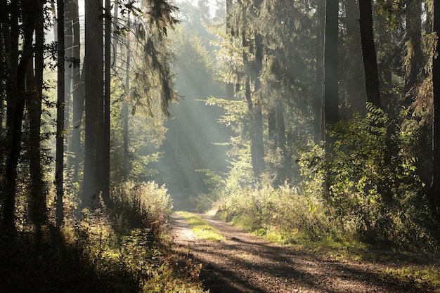 Los rayos del sol golpean el sendero del bosque en una mañana brumosa.