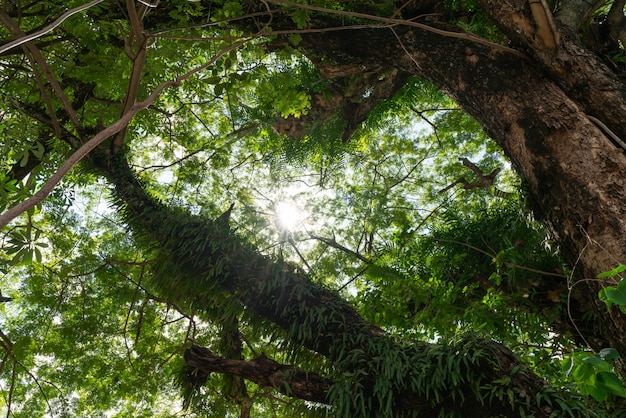 Los rayos de sol que caen a través de los árboles crean una atmósfera encantadora en un bosque verde y fresco.