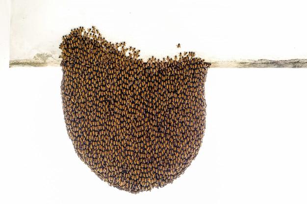 Rebaño de abejas en el nido exterior para proteger el nido