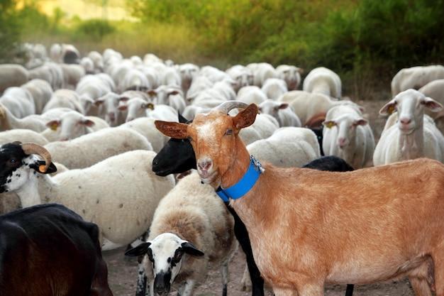 Rebaño de cabras y ovejas rebaño pista exterior naturaleza