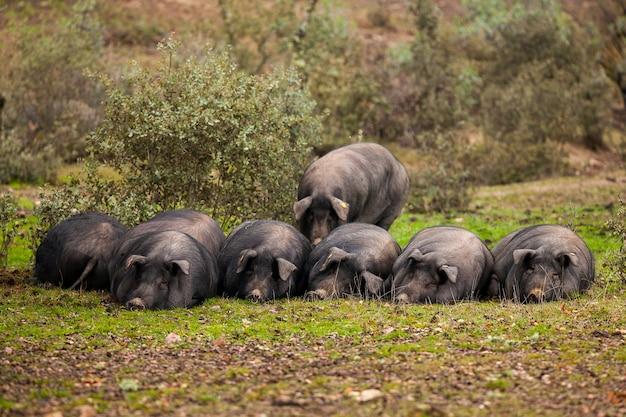 Rebaño de cerdos ibéricos tumbados en la hierba del campo en el prado cordobés