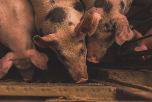 Rebaño de cerdos sentados en jaula