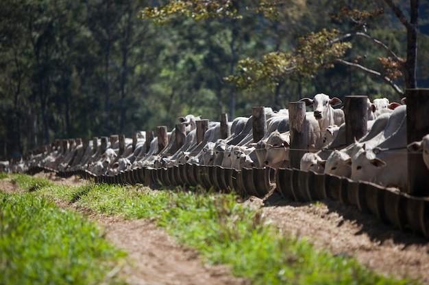 Rebaño de ganado comiendo cerca de un camino de tierra. agricultura.