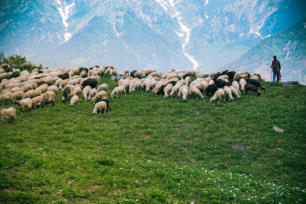 Rebaño de ganado y pastor pastando en los campos verdes