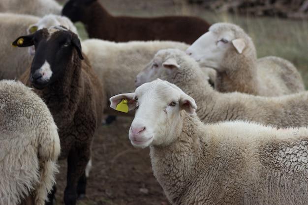 Rebaño de ovejas en el campo. concepto de cría de animales de granja.
