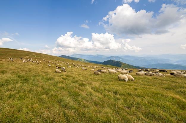 Rebaño de ovejas de granja pastando en pastos de montaña verde.