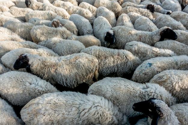 Un rebaño de ovejas en india