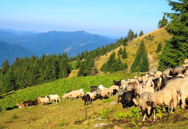 Rebaño de ovejas en las montañas. hermoso paisaje de montaña, las montañas de los cárpatos