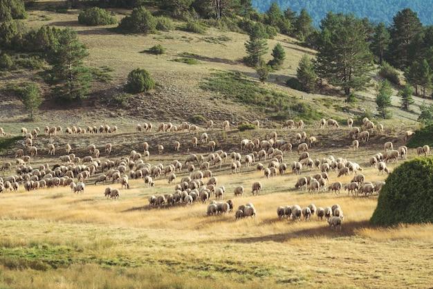 Rebaño de ovejas pastando en el campo