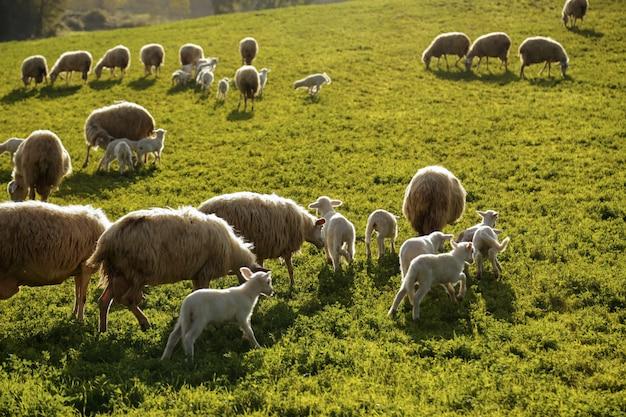 Un rebaño de ovejas pastando en las colinas de la toscana. italia.