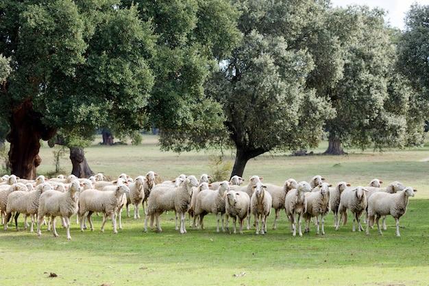 Rebaño de ovejas pastando