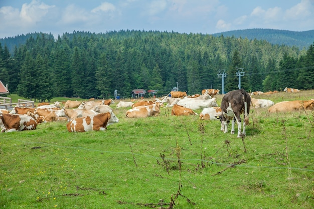 Rebaño de vacas acostado y pastando en pastos cubiertos de hierba en una granja