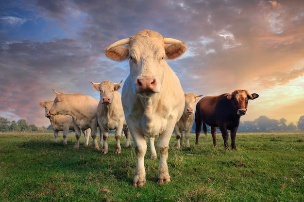 Rebaño de vacas blancas jóvenes en prado verde