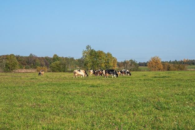 Un rebaño de vacas en un campo verde. empresa agrícola privada.