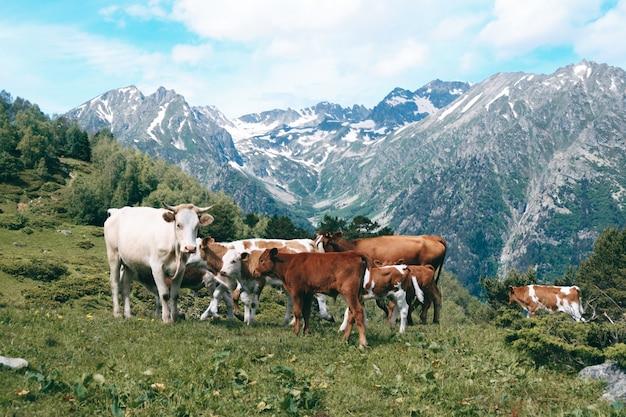 Rebaño de vacas se encuentra en el valle de montaña en picos nevados