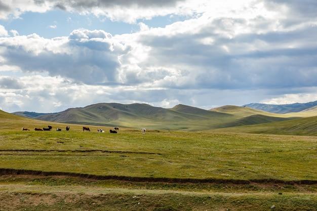 Rebaño de vacas en la estepa de mongolia, mongolia