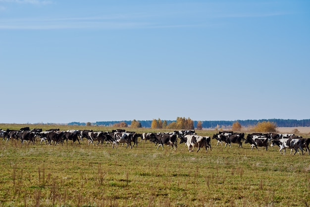 Rebaño de vacas pastando en campo verde