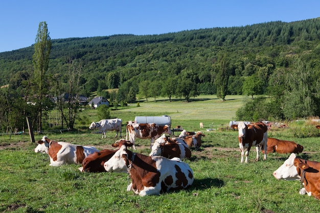 Rebaño de vacas que pastan en el campo en la primavera