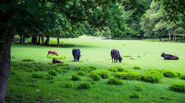 Rebaño de vacas que pastan en una hermosa hierba verde