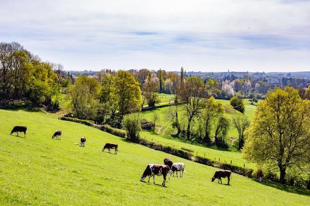 Rebaño de vacas que pastan en los pastos durante el día