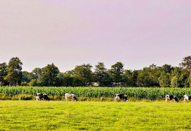 Rebaño de vacas que pastan en los pastos con hermosos árboles verdes en el fondo