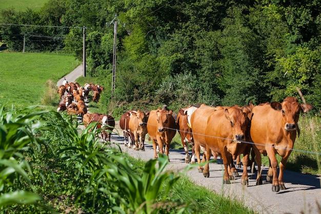 Rebaño de vacas que producen leche para queso gruyere en francia en la primavera