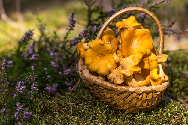 Rebozuelos en una cesta de mimbre en un claro del bosque