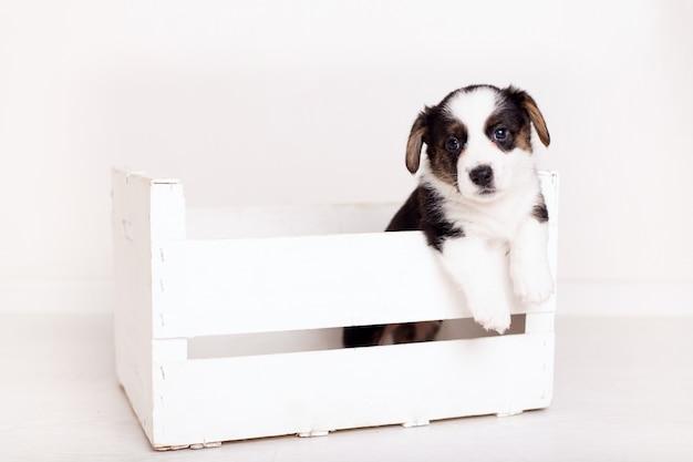 Recién nacido flyffy brown cardigan cachorro en una caja de madera aislada