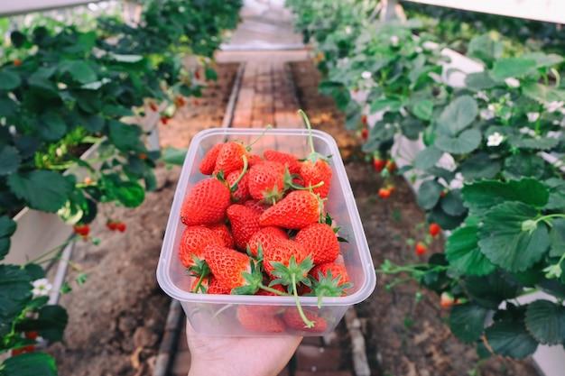 Recogiendo fresa