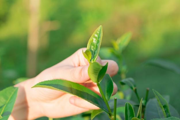Recogiendo la punta de la hoja de té verde a mano en la colina de las plantaciones de té