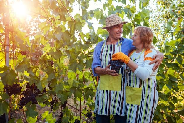 Recolección de uvas. par de agricultores recolectan la cosecha de uvas en la granja. feliz hombre y mujer senior control de uvas